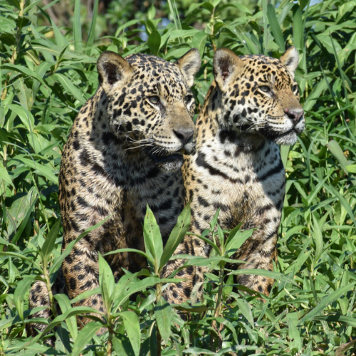 Jaguar Safaris
