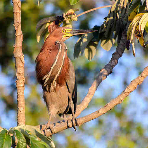 Tiger Heron Tour